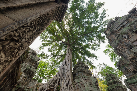 Big Full Banyan tree root covering stone prasat Ta Prohm in Angkor thom, The big huge roots above the construction at Angkor wat Siem Reap, Cambodia Banque d'images