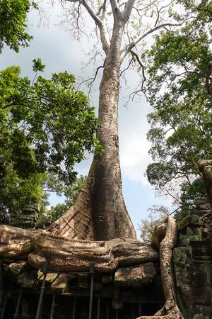 Banyan Big tree root covering stone prasat Ta Prohm in Angkor thom, The big huge roots above the construction at Angkor wat Siem Reap, Cambodia