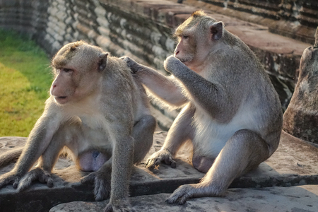 Two Monkey Find a tick and look at the camera and eat ticks at the camera at Angkor Wat in Siem Reap, Cambodia Banque d'images