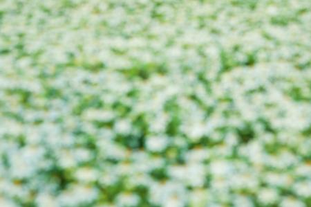 stigma: white flowersblurry background