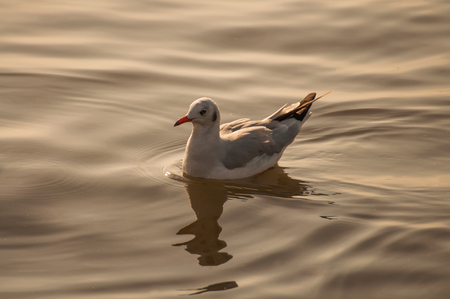 ringed: Ringed Teal.