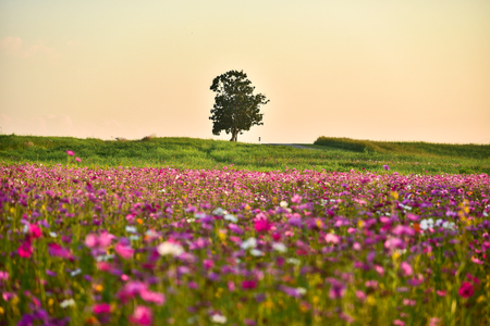 Cosmos Flower and tree in the garden. Stock Photo