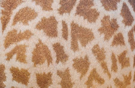 giraffe skin: giraffe skin texture for backgrounds.