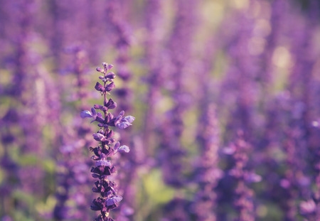 plateau of flowers: lavender flowers field Stock Photo