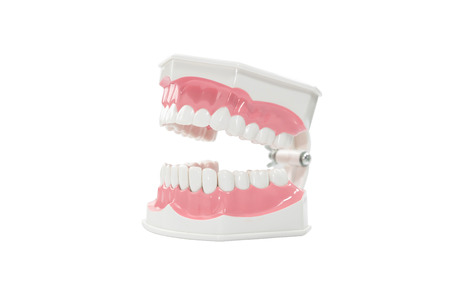scaler: dental jaw model isolated on white background.