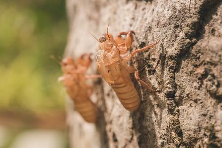 cicada bug: Cicada molt in nature