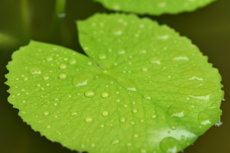 green lotus leaf with water drop. Stock Photo