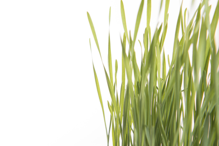close-up fresh green wheat isolated on white background. for cat eat