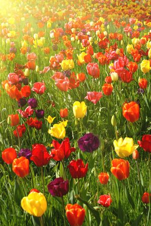 Bed of tulips Stock Photo - 4779035
