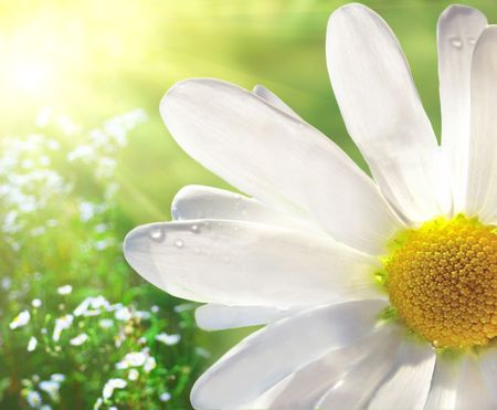 white daisy: Marguerite