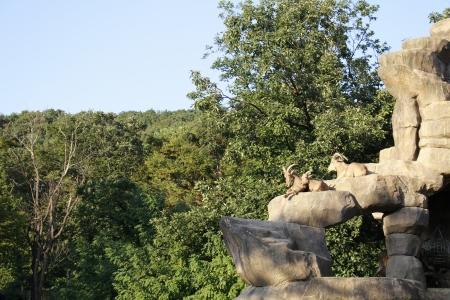 mountain goats: Le capre di montagna sono sulla roccia Archivio Fotografico