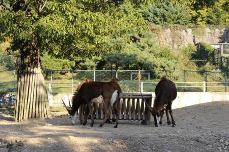 mountain goats: Le capre di montagna sono sotto l'albero