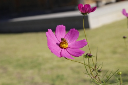 a cosmos with a bee Stock Photo - 24304195