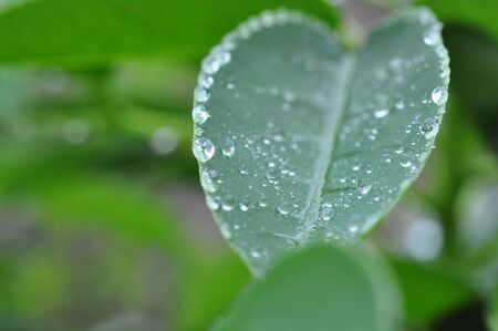 beautiful arbor tree with heart shape with rain drops on its outline and water gliding on its raquis