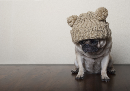 Sad pug puppy sitting on wooden floor with knitted hat Imagens