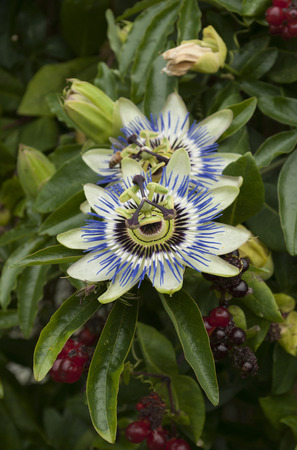 passionflower: closeup of beautiful Passiflora caerulea, Blue passionflower