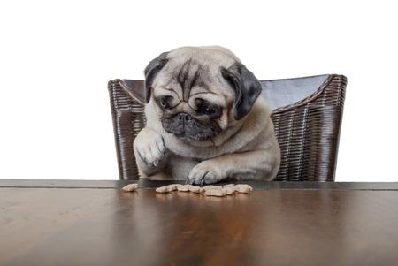 白い背景の上の足のクッキーを食べて夕食のテーブルに座っているかわいいかわいいパグ子犬 写真素材