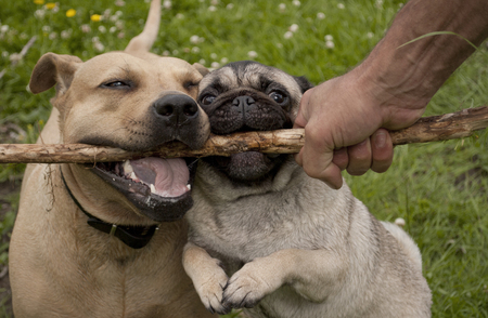 fetching: Happy dogs plaing fetch with sticks in park Stock Photo