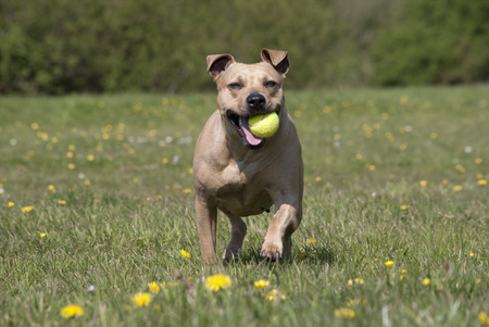 american staffordshire terrier: Happy dog, American Staffordshire terrier, playing with ball in park