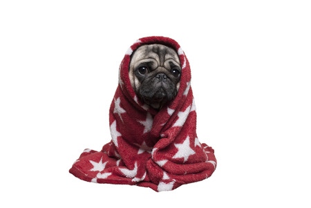 adorable sick puppy dog, pug dog in blanket looking sad, isolated on white background