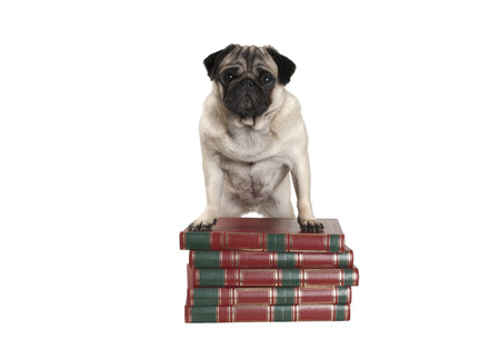 cute pug dog puppy standing with front legs on pile of books, isolated on white background