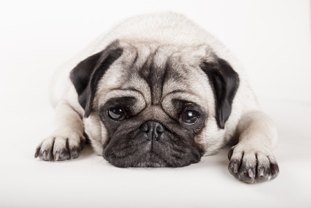 close up or lying pug dog looking sad Archivio Fotografico