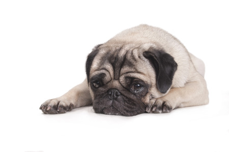 lies down: cute pug dog lying down on floor crying isolated on white background