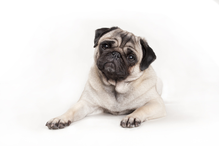 cute pug dog puppy lying down Banco de Imagens