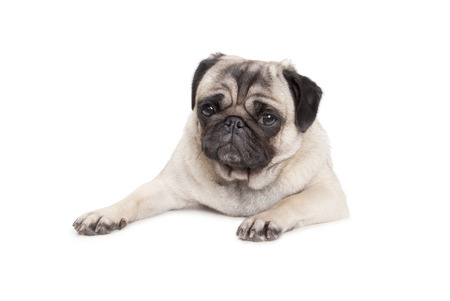 cute pug puppy dog ??lying down isolated on white background Banco de Imagens