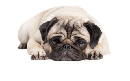 lies down: adorable cute pug puppy dog ??close up isolated on white background
