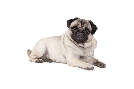 adorable cute pug puppy dog ??lies down isolated on white background Archivio Fotografico