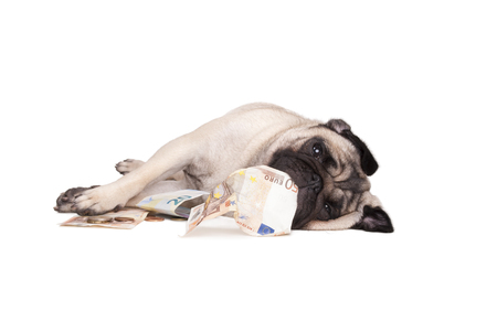 lies down: adorable cute happy pug dog rolling and playing with money, isolated on white background Stock Photo