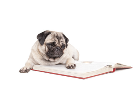 cute little pug dog puppy is reading a book