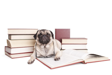 encyclopedias: adorable cute pug puppy dog ??reading book with reading glasses around neck, looking disturbed