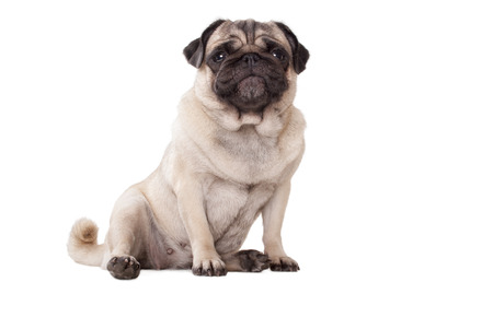goofy: cute pug dog puppy with goofy face sitting on floor isolated on white background