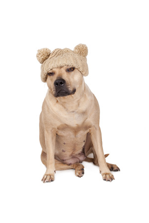 offended looking Stafford dog sitting and wearing a knitted hat with pompoms isolated on white background