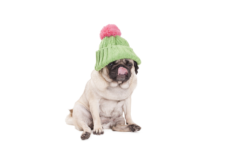 cute pug puppy dog ??sitting and licking nose, wearing green knitted hat with pink pompon, isolated on white background
