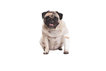 zieken zitten leuke pug puppy dog