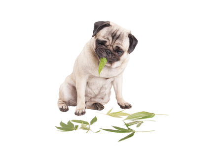cute pug puppy dog ??eating weed, Cannabis sativa, leafs, isolated on white background