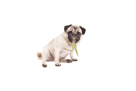 lovely pug dog puppy chewing on a weed, Cannabis sativa, leaf, isolated on white background Stock Photo