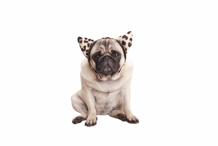 hairband: sweet pug puppy dog ??wearing leopard print hairband with ears, isolated on white background