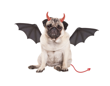 devilish cute pug puppy dog ??dressed up for Halloween, isolated on white background