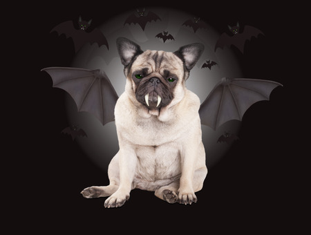 dressed up: creepy cute pug puppy dog ??dressed up as for Halloween bat