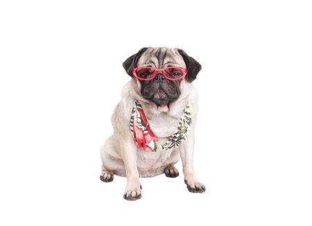 bikini top: cute pug puppy dog ??wearing bikini top and pink sunglasses on white background