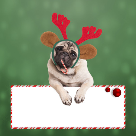 cute pug dog with reindeer antlers and ears, leaning on blank sign on green background with snowflakes Stock Photo