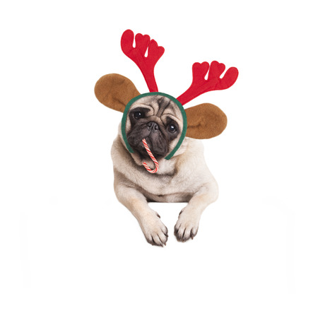 cute pug puppy dog ??eating candy cane and wearing reindeer antlers on white background