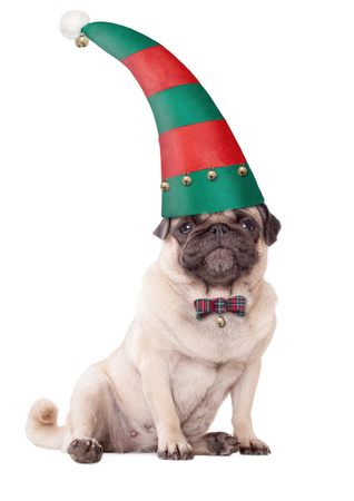 cute pug puppy dog wearing an elf hat for christmas, on white background Stock Photo
