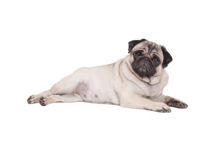 beautiful pug puppy dog lying down isolated on white background