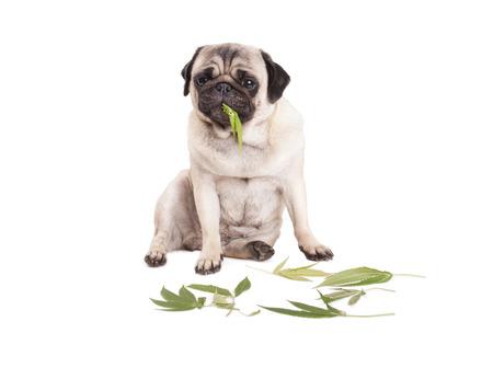 Süße Mops Welpen Hund sitzen und essen Cannabis Sativa Unkraut Blätter, auf weißem Hintergrund