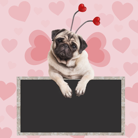 adorable sweet pug puppy dog hanging on blank blackboard sign on pink background with hearts